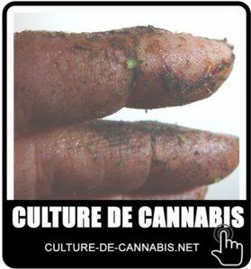 les doigts collants de THC