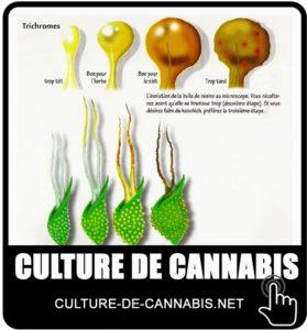 Quand récolter le cannabis?