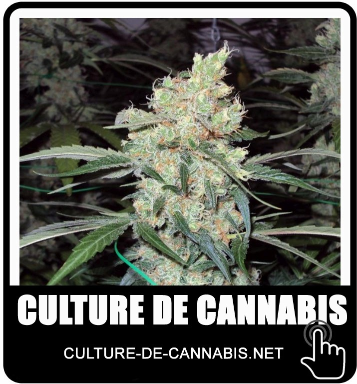La culture du cannabis en interieur 28 images cannabis for Conseil culture cannabis interieur